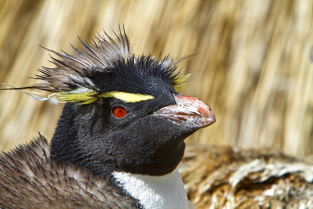 Adult southern rockhopper penguin (Eudyptes chrysocome chrysocome) at breeding and molting colony on New Island in the Falkland Islands, South Atlantic Ocean. MORE INFO The Southern Rockhopper Penguin is classified as Vulnerable species by the IUCN.