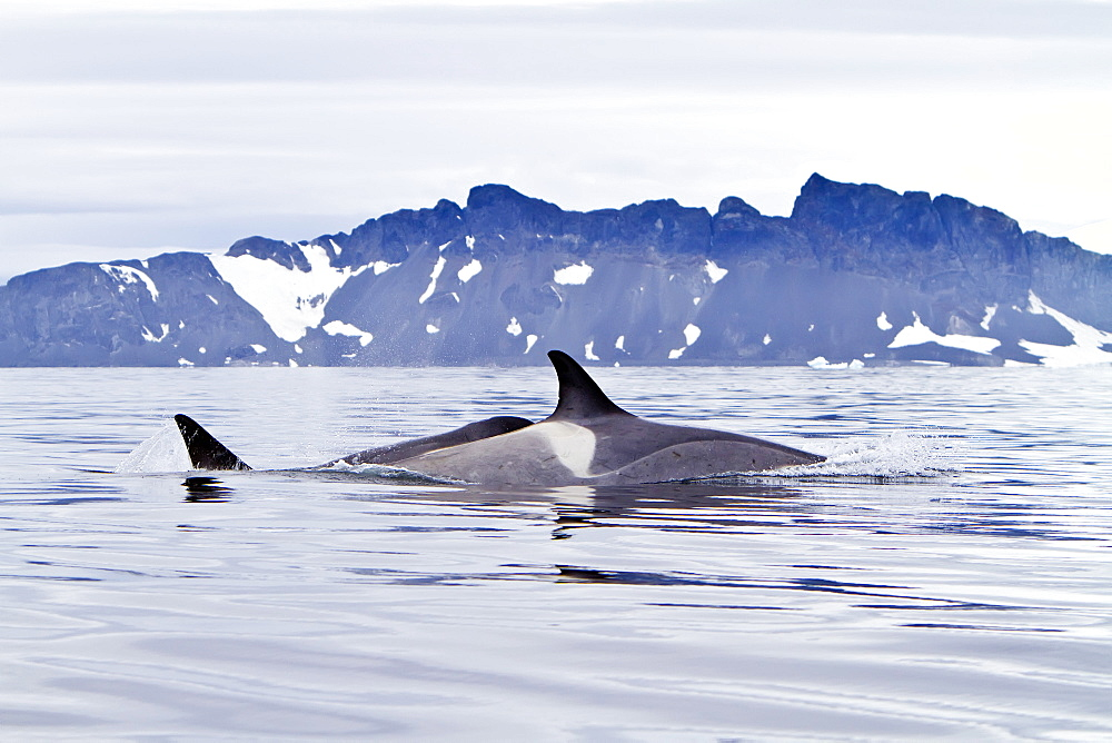 "A small pod of about 25 ""Type B"" killer whales (Orcinus orca) at 67ø 30.3?S  67ø 58.4?W south of the Antarctic Circle near the Antarctic Peninsula, Antarctica, Southern Ocean. MORE INFO Killer whales are found in all oceans and most seas, including (unusually for cetaceans) the Mediterranean and Arabian Seas. These animals are also often called killer whales, but this is a misnomer as this is actually the largest member of the dolphin family.  The Antarctic population of killer whales is estimated at 70,000?80,000."