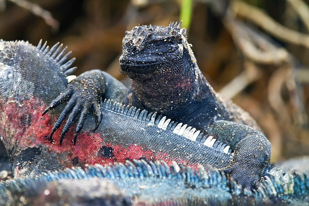 The endemic Galapagos marine iguana (Amblyrhynchus cristatus) on Espanola Island in the Galapagos Island Archipelago, Ecuador