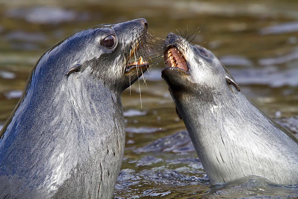 Antarctic fur seal pup (Arctocephalus gazella) mock-fighting on South Georgia, Southern Ocean