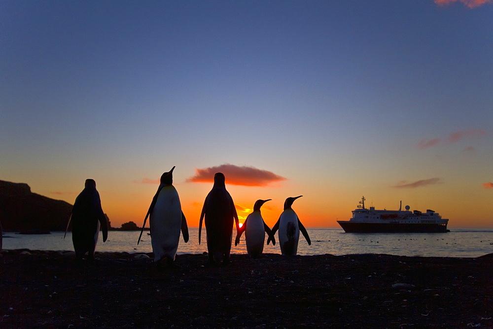 King penguins (Aptenodytes patagonicus) at sunrise on South Georgia Island, Southern Ocean.