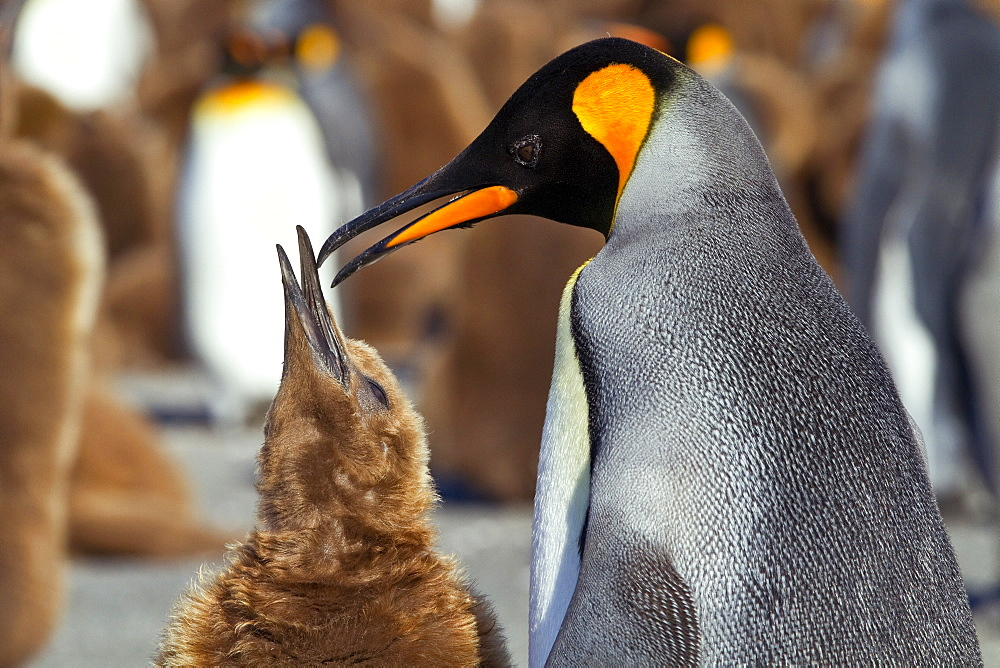 Adult king penguin (Aptenodytes patagonicus) in the act of feeding chick on South Georgia Island, Southern Ocean.