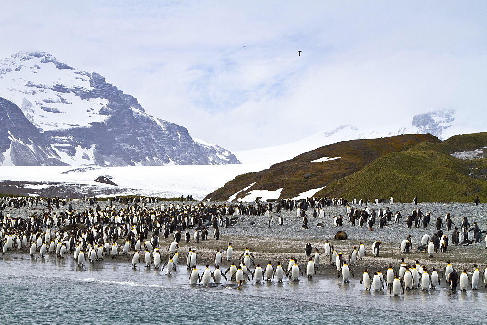 King penguin (Aptenodytes patagonicus) breeding and nesting colony on South Georgia Island, Southern Ocean.