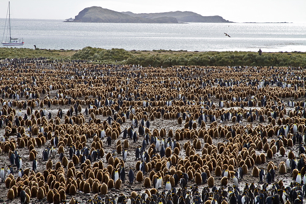"""King penguins (Aptenodytes patagonicus) in downy plumage (often called """"okum boys"""") on South Georgia Island, Southern Ocean."""