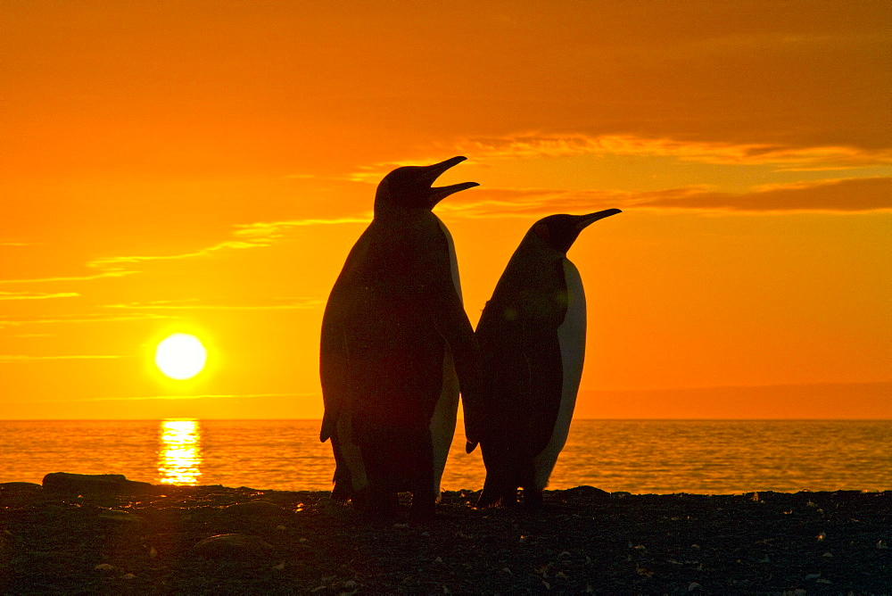 King penguins (Aptenodytes patagonicus) at sunrise on South Georgia Island, Southern Ocean. MORE INFO The king penguin is the second largest species of penguin at about 90 cm (3 ft) tall and weighing 11 to 16 kg (24 to 35 lb), second only to the emperor p - 979-9233