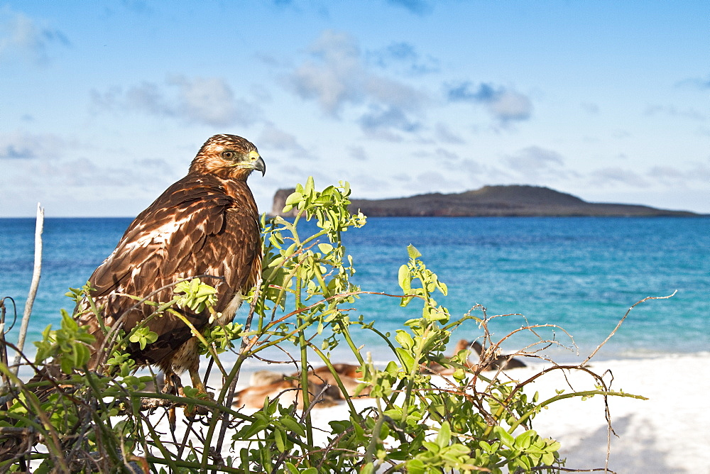 Young Galapagos hawk (Buteo galapagoensis) in the Galapagos Island Archipelago, Ecuador. MORE INFO This raptor species is endemic to the Galapagos Islands.