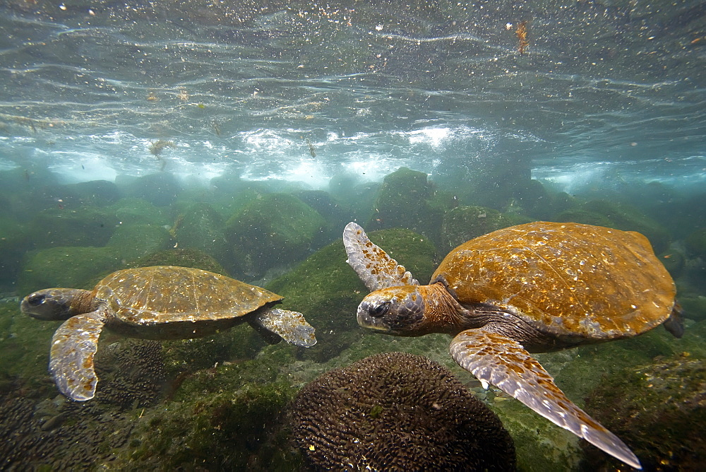 Adult green sea turtle (Chelonia mydas agassizii) underwater off the west side of Isabela Island in the Galapagos Island Archipelago, Ecuador