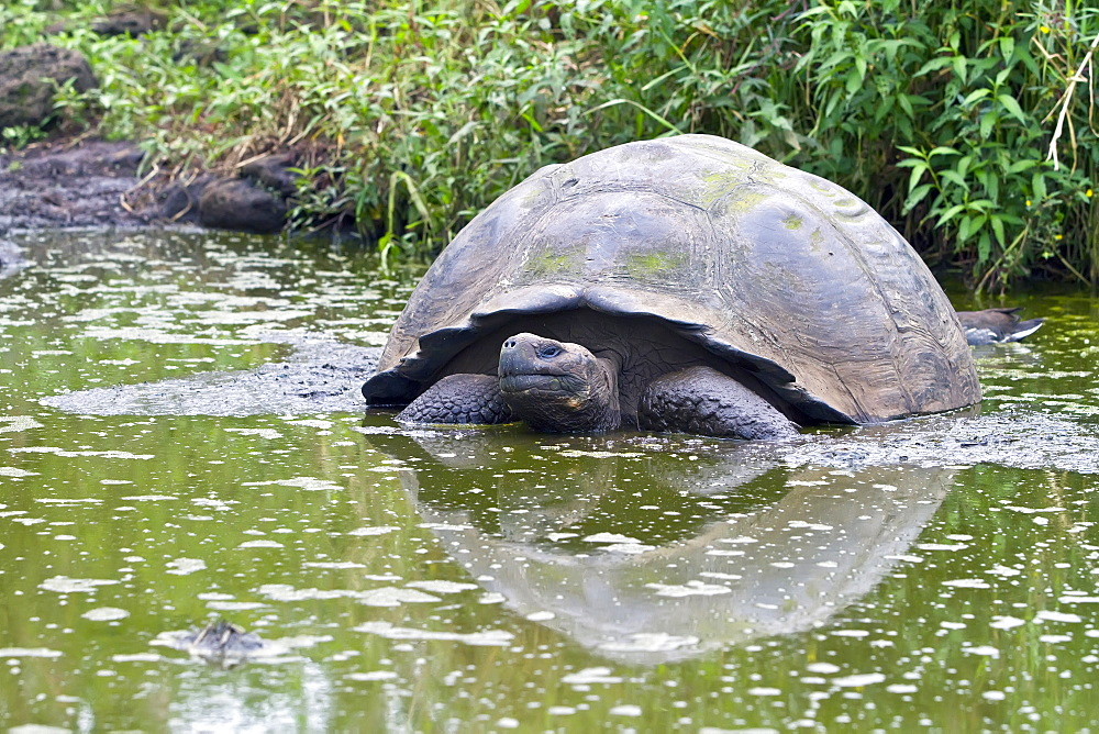 Wild Galapagos giant tortoise (Geochelone elephantopus) feeding on the upslope grasslands of Santa Cruz Island in the Galapagos Island Archipelago, Ecuador. MORE INFO The Galapagos Giant Tortoise is endemic only to the Galapagos Islands. There are currently 11 surviving races and 3 extinct races.