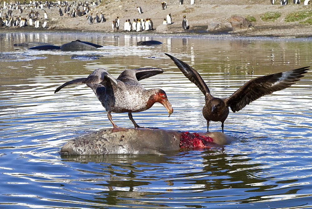 Northern giant petrel (Macronectes halli) fighting over the scavenging rights to a dead elephant seal pup at St. Andrews Bay on South Georgia Island, Southern Ocean