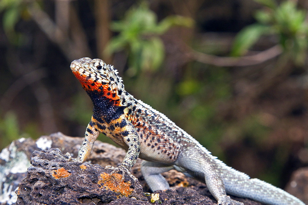 Lava lizard (Microlophus spp) in the Galapagos Island Archipelago, Ecuador. MORE INFO There are 7 different species of Microlophus within the Galapagos Island Archipelago, all have most likely evolved from a single ancestral species.