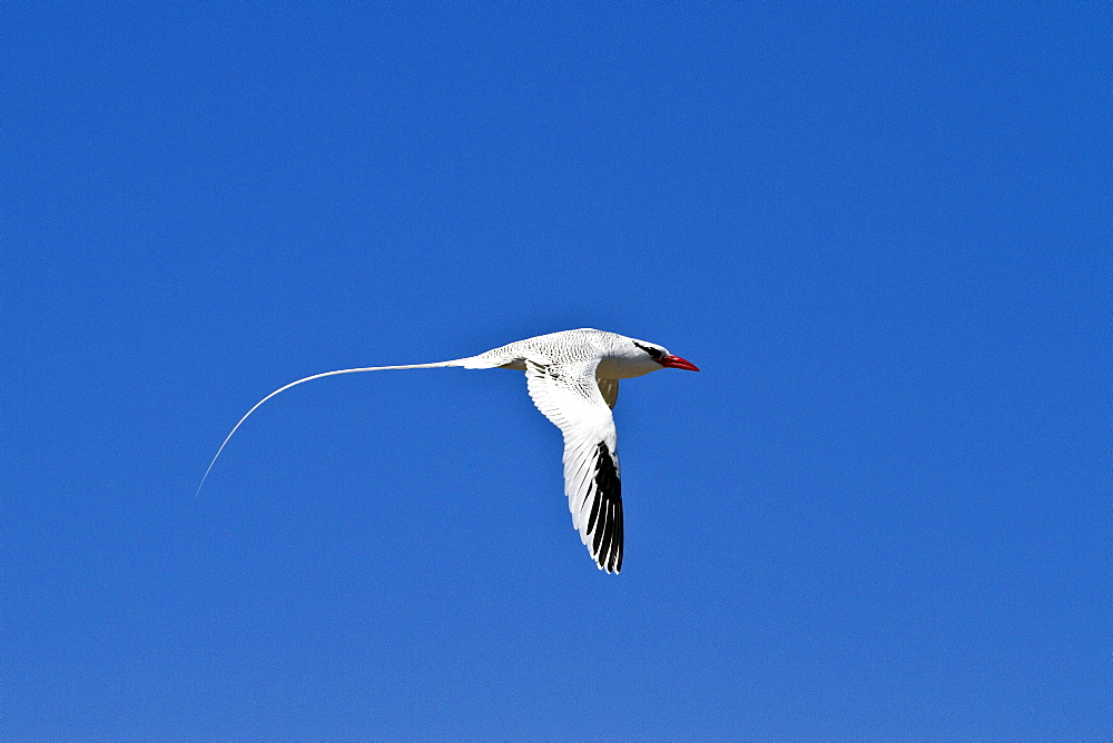 Adult red-billed tropicbird (Phaethon aethereus) in flight in the Galapagos Island Archipelago, Ecuador. MORE INFO This bird is also known as the boatswain bird and is one of three closely related seabirds of tropical oceans.
