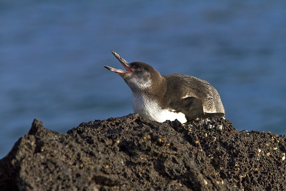 Galapagos penguin (Spheniscus mendiculus) hauled out on Isabela Island in the Galapagos Island Archipelago, Ecuador. MORE INFO This is the only species of penguin in the northern hemisphere and is endemic to the Galapagos Island archipelago, Ecuador only.