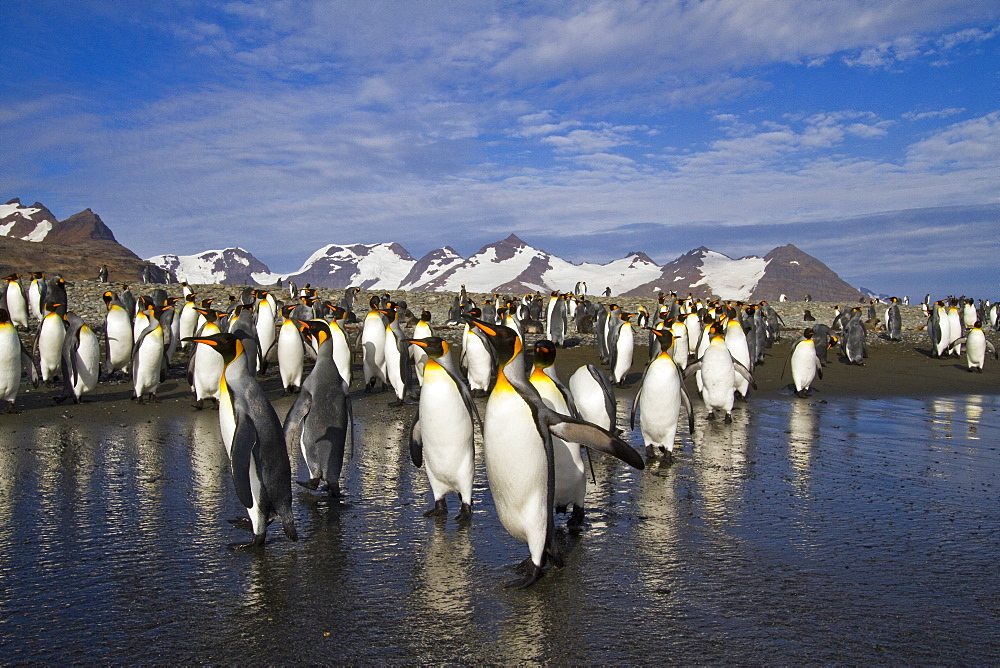 King penguins (Aptenodytes patagonicus) on the beach at breeding and nesting colony at Salisbury Plains in the Bay of Isles, South Georgia, Southern Ocean.