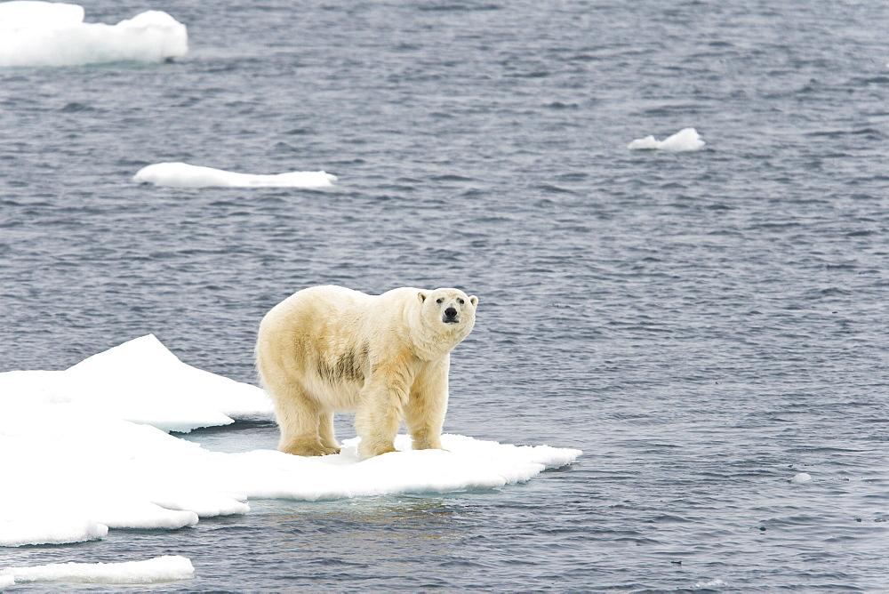 Polar bear (Ursus maritimus) on multi-year ice floes in the Barents Sea off the eastern coast of EdgeØya (Edge Island) in the Svalbard Archipelago, Norway. - 979-938