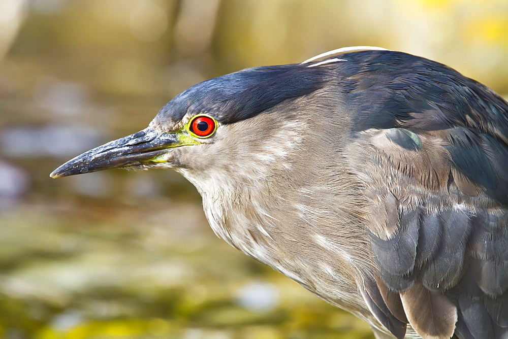"""Adult black-crowned night-heron (Nycticorax nycticorax falklandicus) on Carcass Island in the Falkland Islands, South Atlantic Ocean. MORE INFO This heron is found throughout a large part of the world. In the Falklands this bird is known locally as a """"quark"""", which is an onomatopoeic term."""