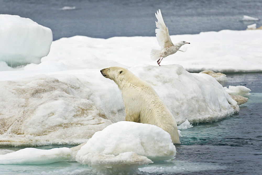 Adult polar bear (Ursus maritimus) hauling out onto multi-year ice floes in the Barents Sea off the eastern coast of EdgeØya (Edge Island) in the Svalbard Archipelago, Norway. Note the gull taking off at the bears approach!