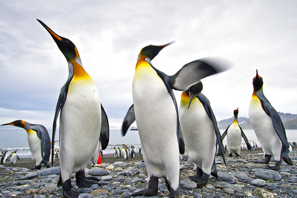 King penguin (Aptenodytes patagonicus) breeding and nesting colony at St. Andrews Bay on South Georgia, Southern Ocean.