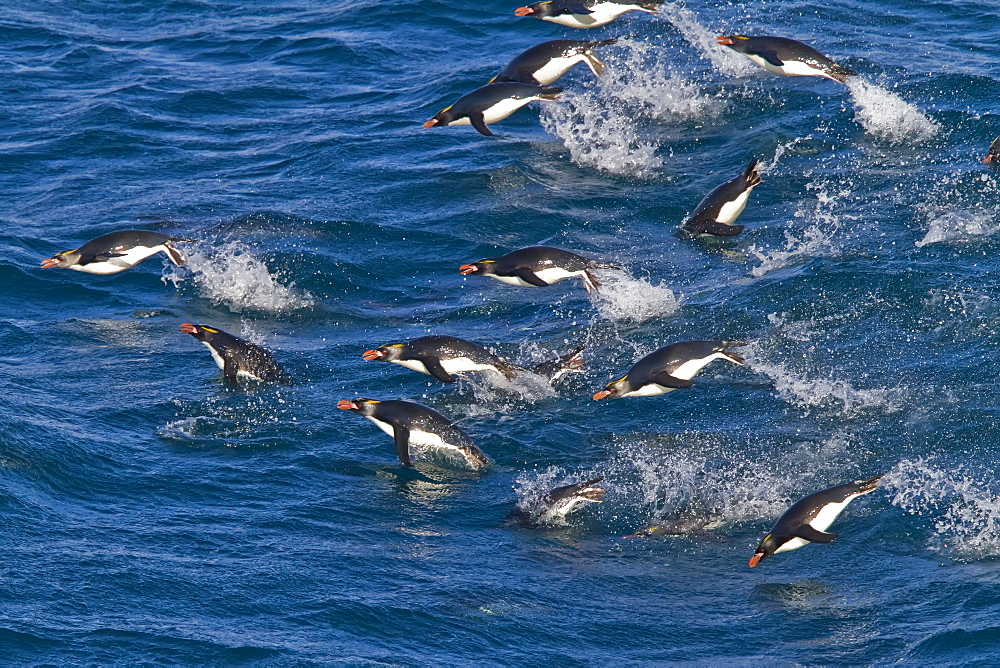 Adult macaroni penguins (Eudyptes chrysolophus) porpoising for speed while traveling to their breeding colony on South Georgia, Southern Ocean. MORE INFO Numbering up to 100,000 individuals, the breeding colonies of the macaroni penguin are among the largest and densest of all penguin species. With about 18 million individuals, the macaroni penguin is the most numerous penguin species. However, widespread decline in populations have been recorded since the mid-1970s. These factors result in their conservation status being reclassified as vulnerable.