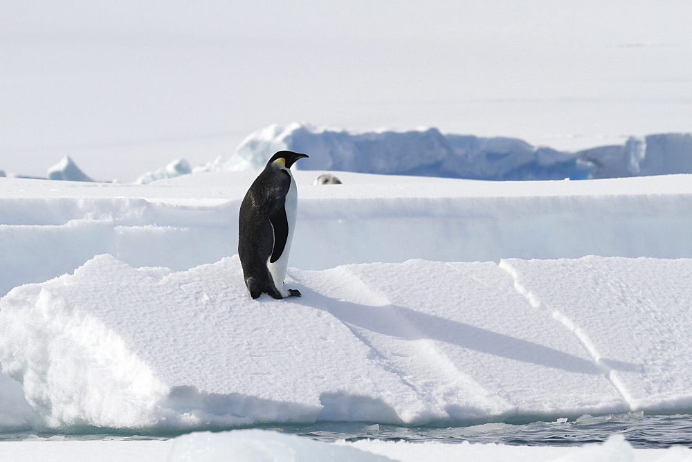 A lone adult emperor penguin (Aptenodytes forsteri) on sea ice in the Gullet between Adelaide Island and the Antarctic Peninsula, Antarctica.