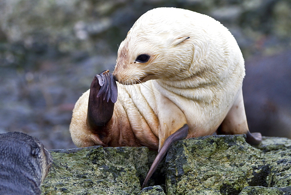 Leucistic (lack of melanin, or blond) Antarctic fur seal pup (Arctocephalus gazella) on South Georgia, Southern Ocean. MORE INFO Around 95% of the world population breeds at the Island of South Georgia, but this species is slowly returning to the Antarctic Peninsula after being hunted to extinction in much of its former range. Due to the enormous and growing populations of these seals, their food is a significant proportion of South Georgia's krill stocks. There may be as many as four million individuals breeding at South Georgia. The concentrations at South Georgia are the densest aggregations of marine mammals on earth. Some researchers believe these populations have grown to such levels because the removal of whales by the intensive whaling of the 20th century left a surplus of krill.