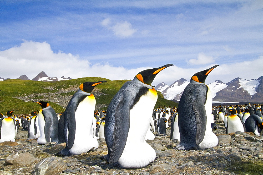 King penguins (Aptenodytes patagonicus) at breeding and nesting colony at Salisbury Plains in the Bay of Isles, South Georgia, Southern Ocean.