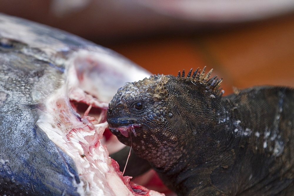 The endemic Galapagos marine iguana (Amblyrhynchus cristatus) feeding on fish at the Puerto Ayora fish market on Santa Cruz Island in the Galapagos Island Archipelago, Ecuador. MORE INFO Marine iguanas are herbivorous, although this one is famous at this fish market as it often shows up to feed when the fresh catch arrives! This is the only marine iguana in the world, with many of the main islands having it's own subspecies. This iguana is unique among all iguanas worldwide to feed (normally) exclusively underwater on algae.