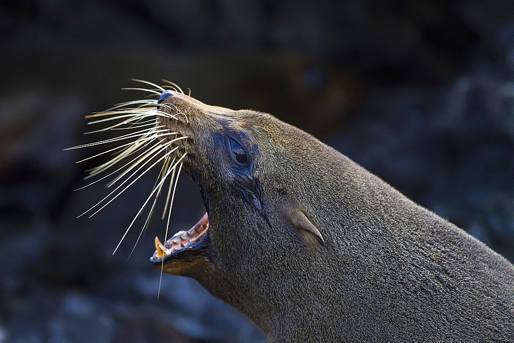 Galapagos fur seal (Arctocephalus galapagoensis) hauled out on lava flow in the Galapagos Island Archipelago, Ecuador. MORE INFO This small pinniped is endemic to the Galapagos Islands only.