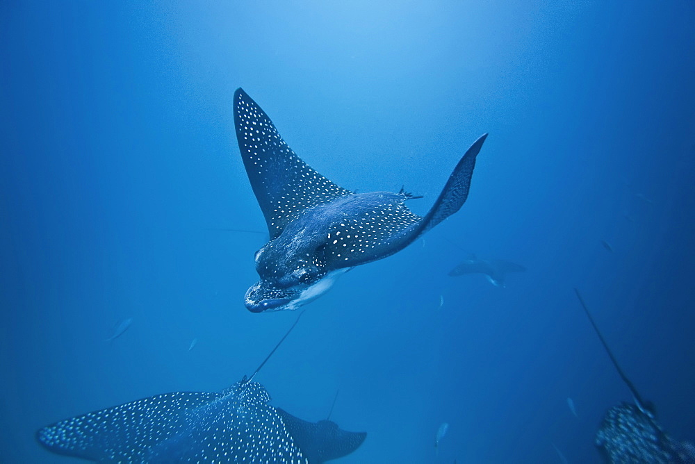 Spotted eagle ray (Aetobatus narinari) underwater at Leon Dormido (Sleeping Lion) Island off San Cristobal Island in the Galapagos Island Archipelago, Ecuador