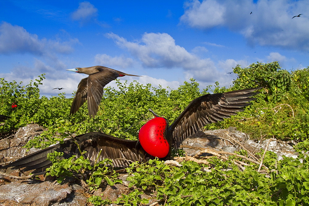 Male Great frigatebird (Fregata minor) in breeding plumage (note the red gular pouch) on Genovesa (Tower) Island,  in the Galapagos Island Archipelago, Ecuador