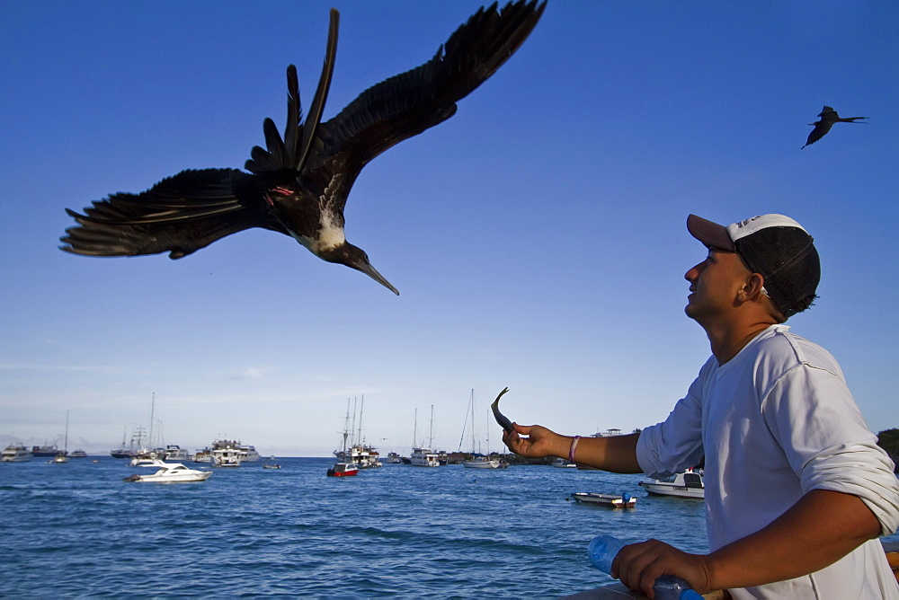Great frigatebird (Fregata minor) taking handouts from a fisherman in Puerto Ayora on Santa Cruz Island,  in the Galapagos Island Archipelago, Ecuador