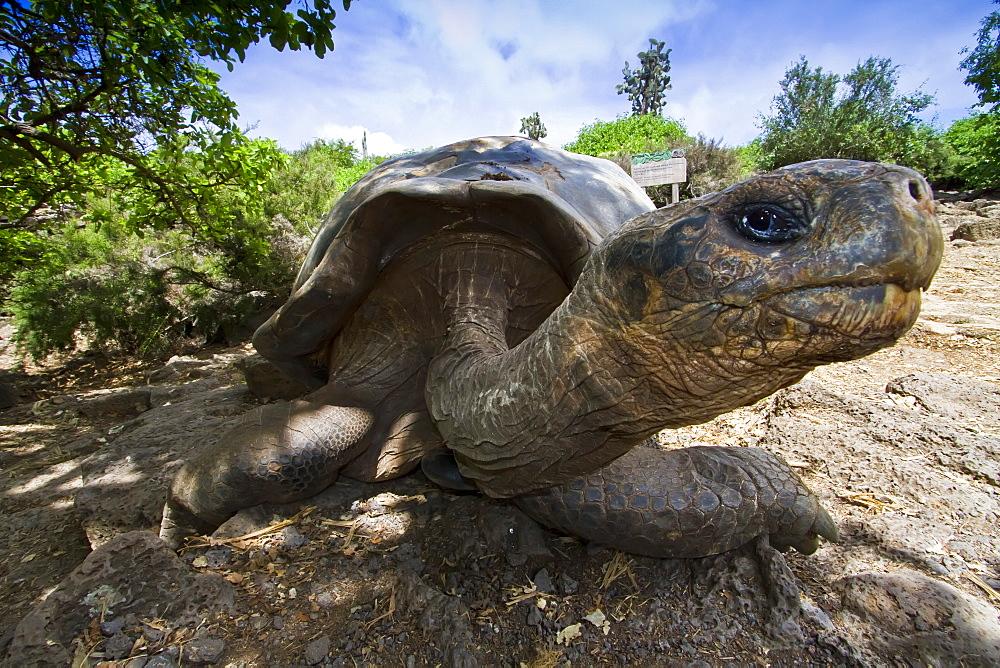 Captive Galapagos giant tortoise (Geochelone elephantopus) at the Charles Darwin Research Station on Santa Cruz Island in the Galapagos Island Archipelago, Ecuador