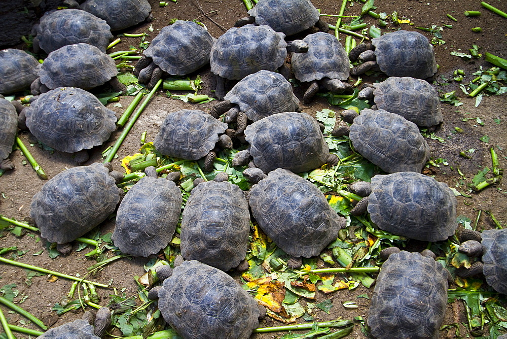 Young Captive Galapagos giant tortoise (Geochelone elephantopus) being fed at the tortuguero breeding station just outside Puerto Villamil on Isabela Island in the Galapagos Island Archipelago, Ecuador. MORE INFO The Galapagos Giant Tortoise is endemic only to the Galapagos Islands. There are currently 11 surviving races and 3 extinct races.