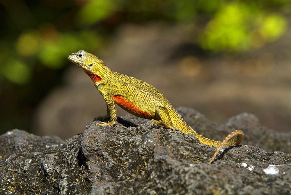 Lava lizard (Microlophus spp) in the Galapagos Island Archipelago, Ecuador