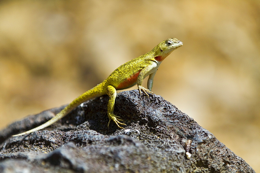 Lava lizard (Microlophus spp) in the Galapagos Island Archipelago, Ecuador. MORE INFO There are 7 different endemic species of Microlophus within the Galapagos Island Archipelago, all have most likely evolved from a single ancestral species.