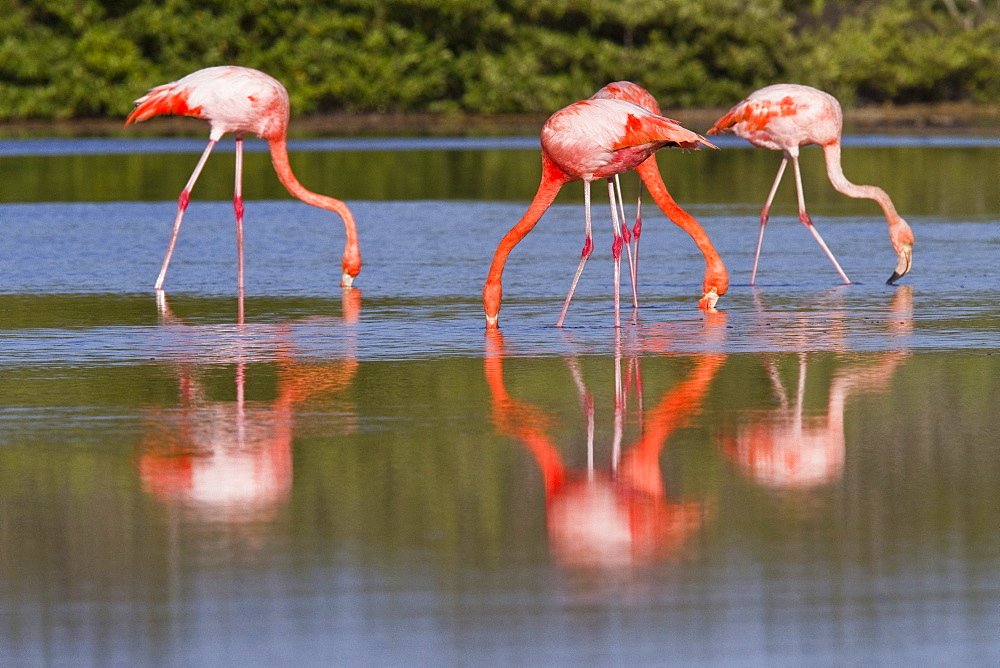 Greater flamingo (Phoenicopterus ruber) foraging for small pink shrimp (Artemia salina) in saltwater lagoon in the Galapagos Island Archipelago, Ecuador
