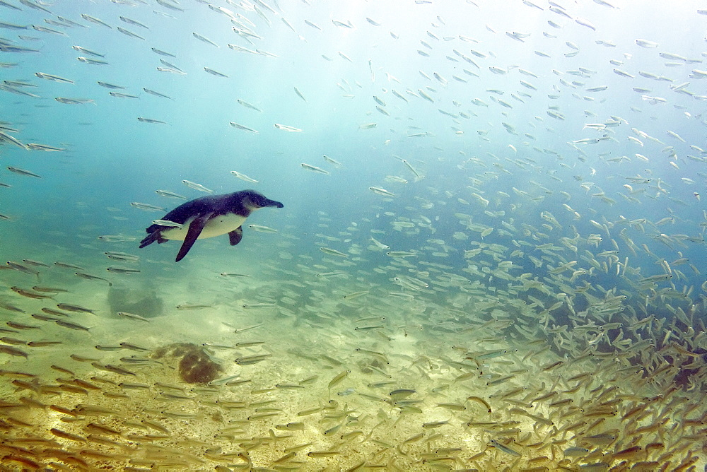 Galapagos penguin (Spheniscus mendiculus) feeding underwater on small baitfish in the Galapagos Island Archipelago, Ecuador. MORE INFO This is the only species of penguin in the northern hemisphere and is endemic to the Galapagos Island archipelago, Ecuador only.