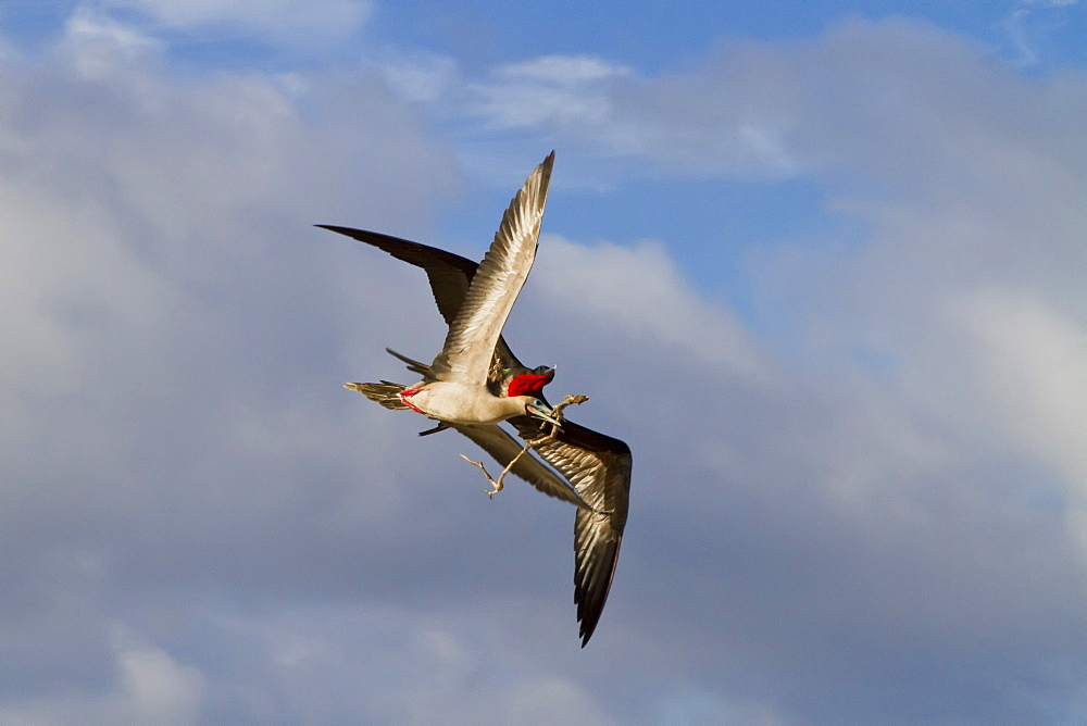 Adult red-footed  booby (Sula sula) being attacked in flight by a great frigatebird (Fregata minor), Galapagos Island Archipelago, Ecuador