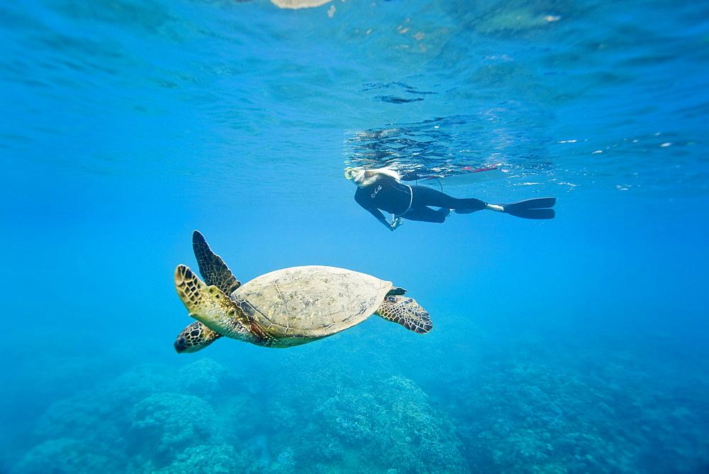 Green sea turtle (Chelonia mydas) off Olowalu Reef on the west side of the island of Maui, Hawaii, USA.