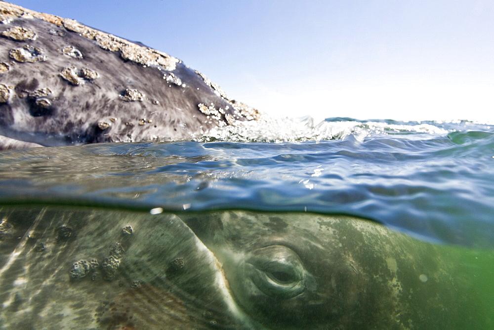 California Gray Whale (Eschrichtius robustus) in San Ignacio Lagoon on the Pacific side of the Baja Peninsula, Baja California Sur, Mexico