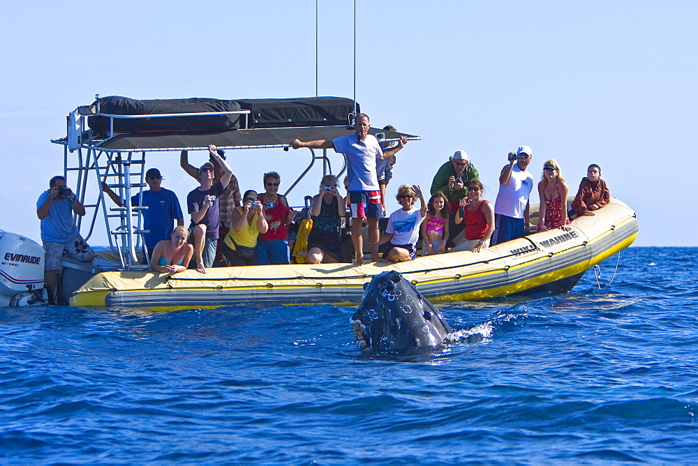 Commercial whale watching boat with adult spy-hopping humpback whale (Megaptera novaeangliae) in the AuAu Channel between the islands of Maui and Lanai, Hawaii, USA