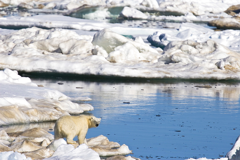 Mature polar bear men galleriestures — img 14