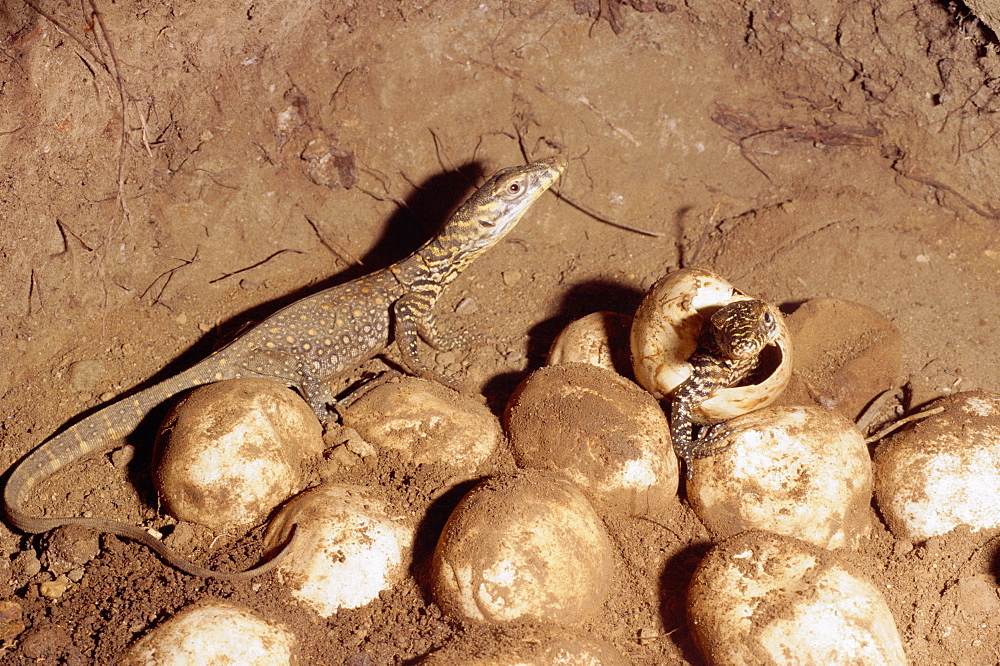 Komodo dragon hatching from egg (Varanus komodoensis) Komodo Is Indonesia. Eggs are laid underground, here under megapode mound. - 981-19