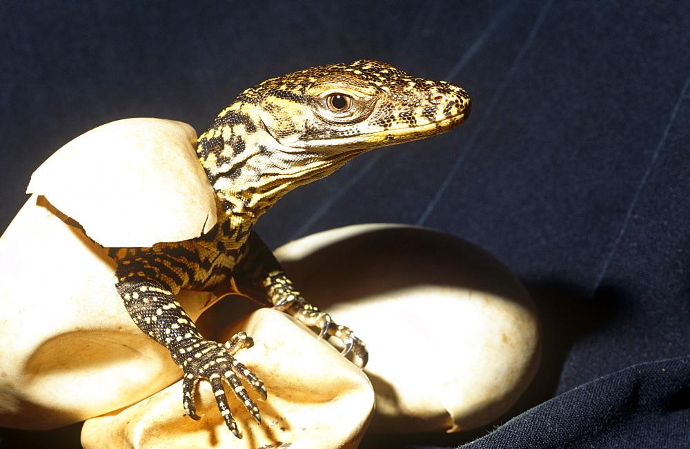 Young hatchling Komodo dragon (Varanus komodoensis) - 981-24