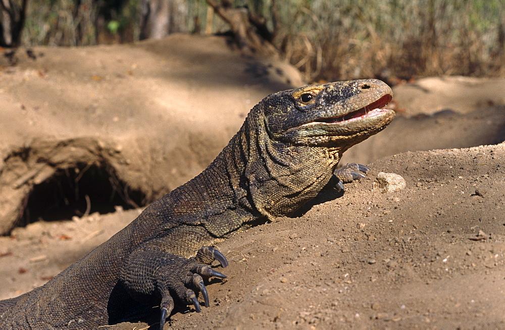 Komodo dragon (Varanus komodoensis) - female resting and defending one of six entrances to megapode mound