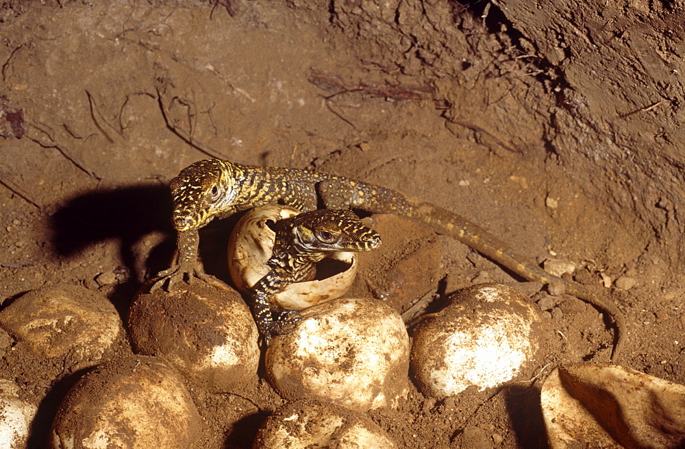 Young hatchling Komodo dragon (Varanus komodoensis).  one of thirty three eggs only twenty eight hatched.