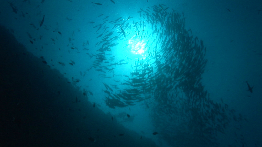 Silhouette of Schooling Jackfish species in bait ball. Palau, Pacific