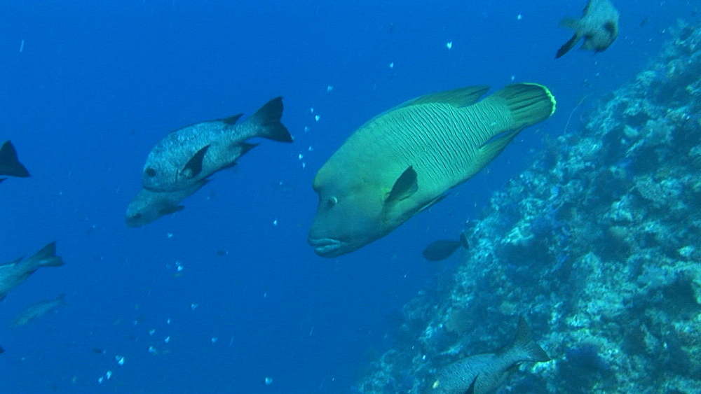 Bumphead parrotfish, Bolbometon muricatem, on reef. Palau, Pacific - 981-373