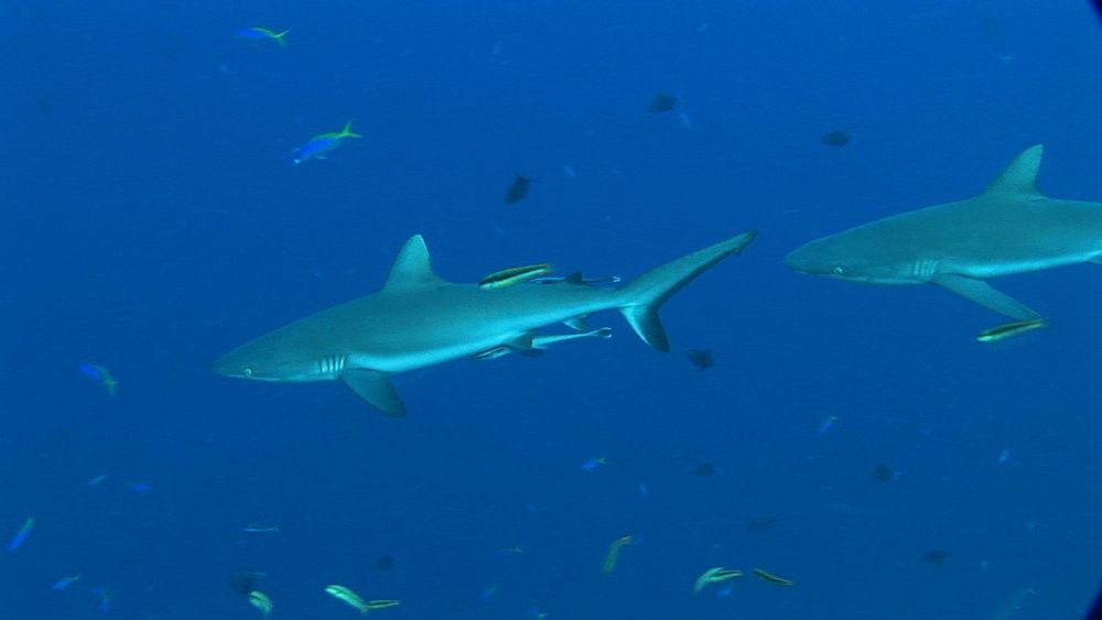 Two Grey reef sharks (Carcharinus falciformis) with remora. Palau, Pacific - 981-379