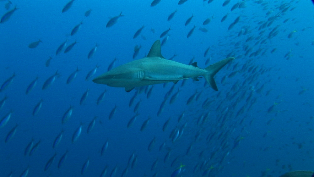 Grey reef shark (Carcharinus falciformis) with tropical fish schooling. Palau, Pacific