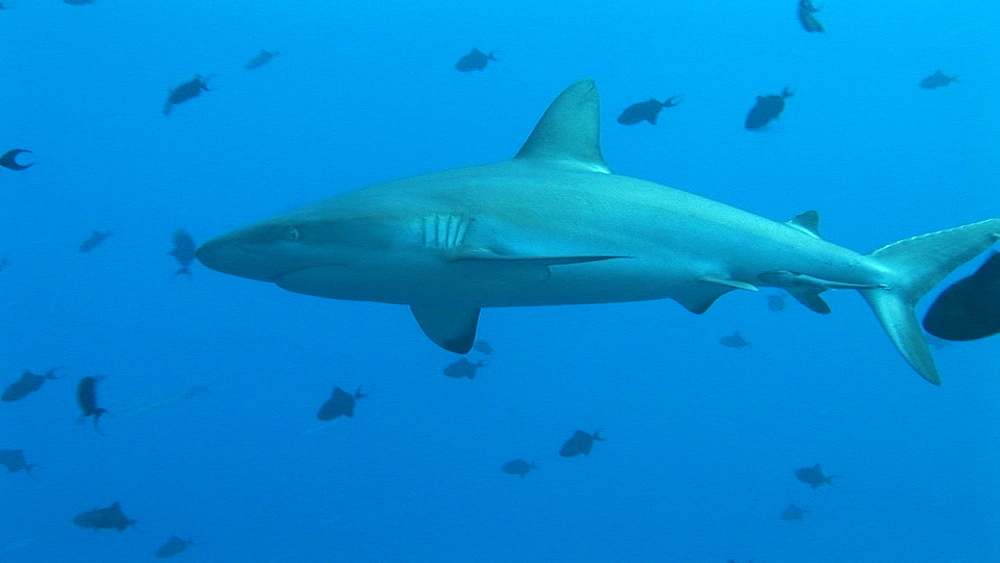 Grey reef shark (Carcharinus falciformis) with tropical fish schooling. Palau, Pacific - 981-381